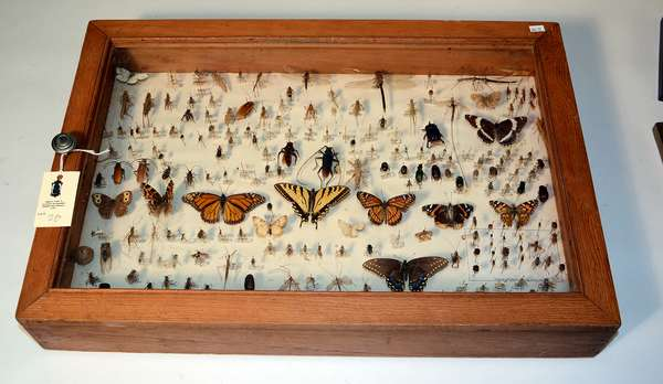 Shadow box/ display case containing approx. 200+ beetles, insects, butterflies, etc., 25