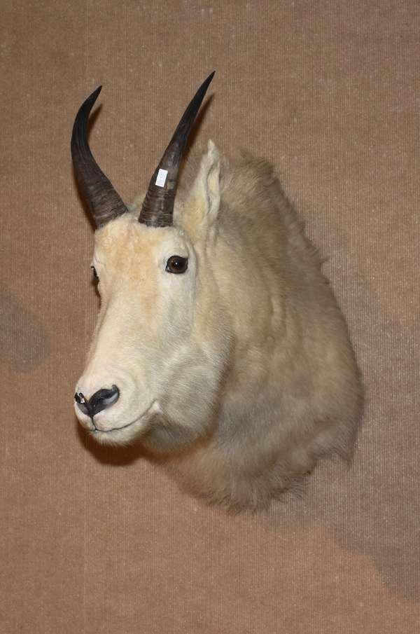 Sheep head mount (178-56)