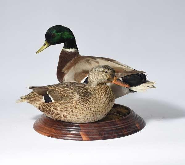 Pair mallard duck mounts (586-55)