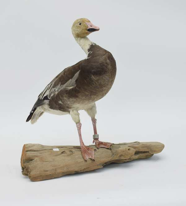 Snow goose mount (586-59)