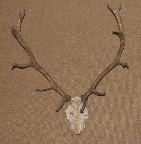 Wall mount deer horn (586-52)