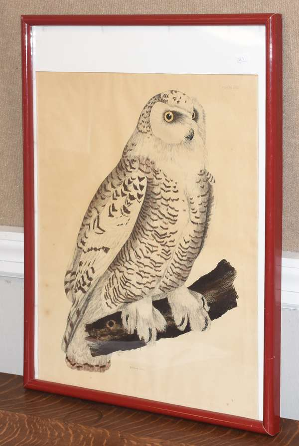 "P.J. Selby etching with hand coloring, ""Snowy Owl"" signed P.J. Selby 1821 in plate, 21"" x 16"" (259-1)"
