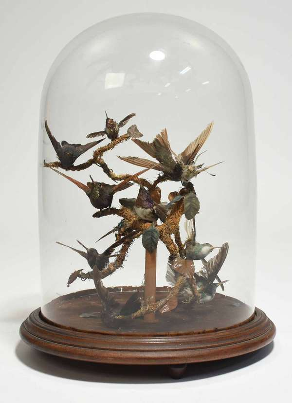 """Victorian taxidermy diorama with ten birds on a branch, under a large glass dome on wooden base. 16""""H x 11.5"""" dia. Condition: one with lost beak, some with scruffy feathers"""