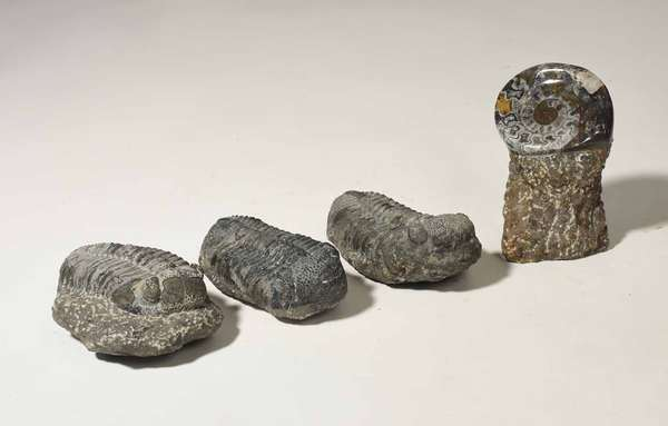 """Three Trilobite fossils 5.5"""" - 6""""L, along with a polished ammonite fossil, 4 pieces. Condition: good for their age"""
