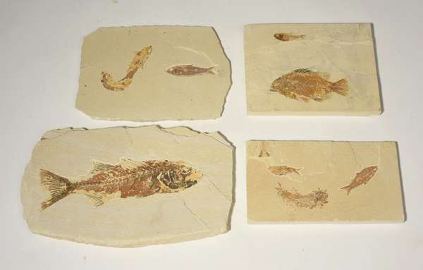 """Grouping of four fossilized fish on cut stone tablets, 3 identified as Knightia Eocasna and one Mioplosas Labordorite 4 pieces - Condition: some chipping to soft porous stone, 10""""-15"""" w"""