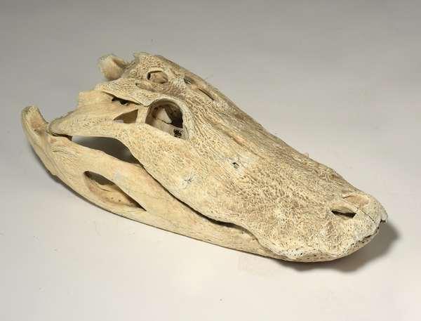 """Alligator/ crocodile skull, complete, 24"""" L - Condition: overall good"""